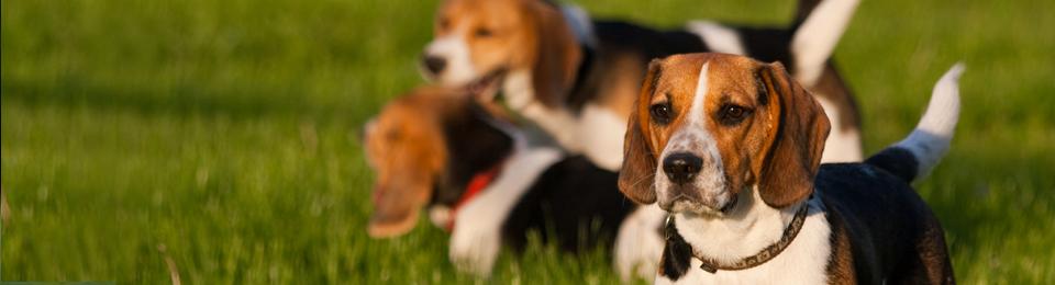 General Image - Beagles